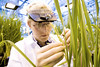 P6.8 / Bayer Crop Science<br /> <br /> Choice 8 of 8<br /> <br /> <br /> Frank Adam sampling seeds from a rice plant. <br /> <br /> Image author: Photo: Bayer CropScience<br /> Image utilization: Photo may be used to accompany reports on Bayer provided the source is mentioned. Resale to third parties is prohibited.